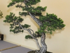 exposition-internationale-de-bonsai-et-suiseki-les-jolis-matins-de-juin--02-06-2014
